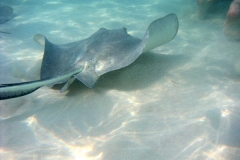 stingray iles cayman