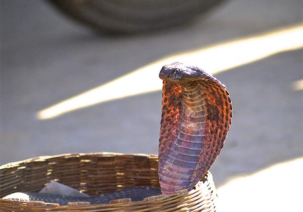 un monde de voyages Inde serpent