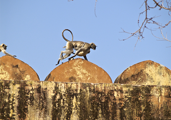 un monde de voyages Inde Jaipur - Fort d'Amber - singes