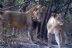 Marche aux lions - réserve de Fhatala